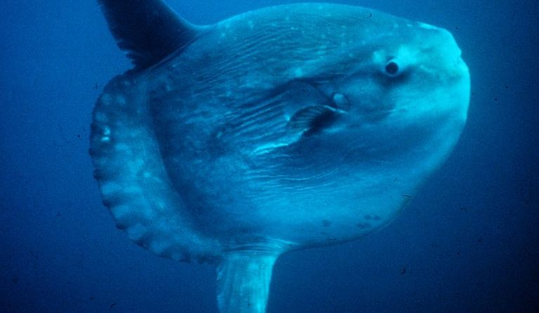 Mola Mola pesce Luna