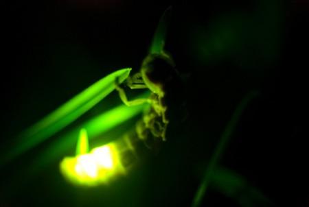 Lucciole: la luce di una lucciola