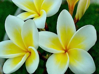 Frangipani, fiore tropicale tipico delle Seychelles, dal profumo intenso e caratteristico