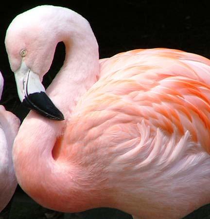 Perché i fenicotteri sono rosa