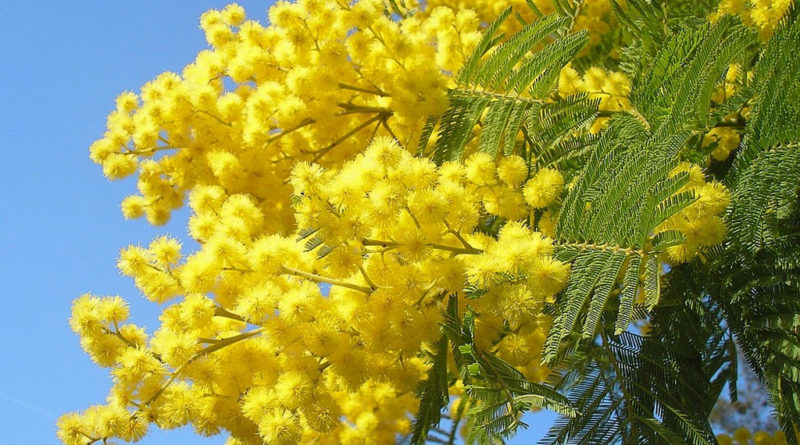 Mimose: fiore della Festa della Donna