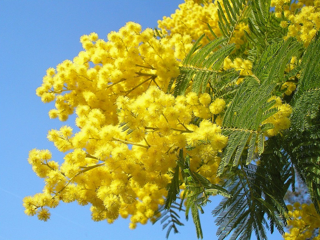 Mimosa: il fiore simbolo della Festa della Donna (8 marzo)