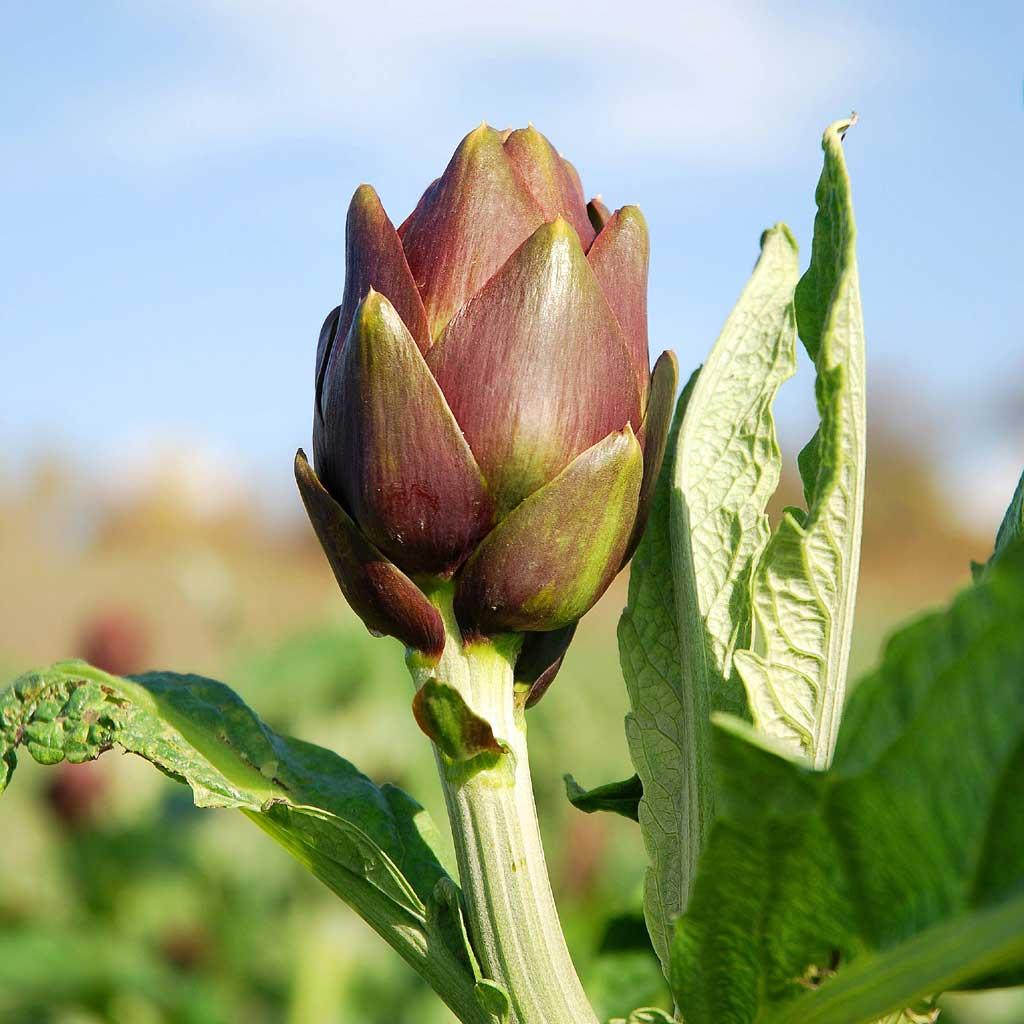 La pianta del carciofo