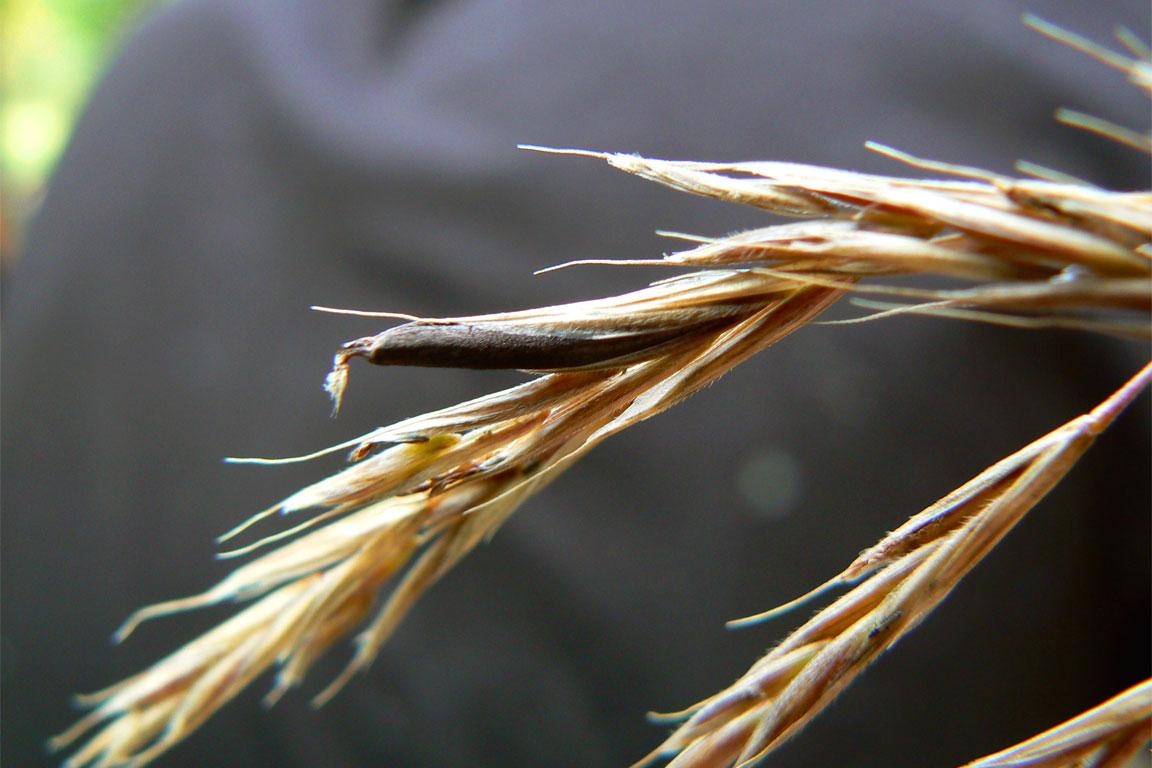 Particolare del fungo Ergot, parassita della segale
