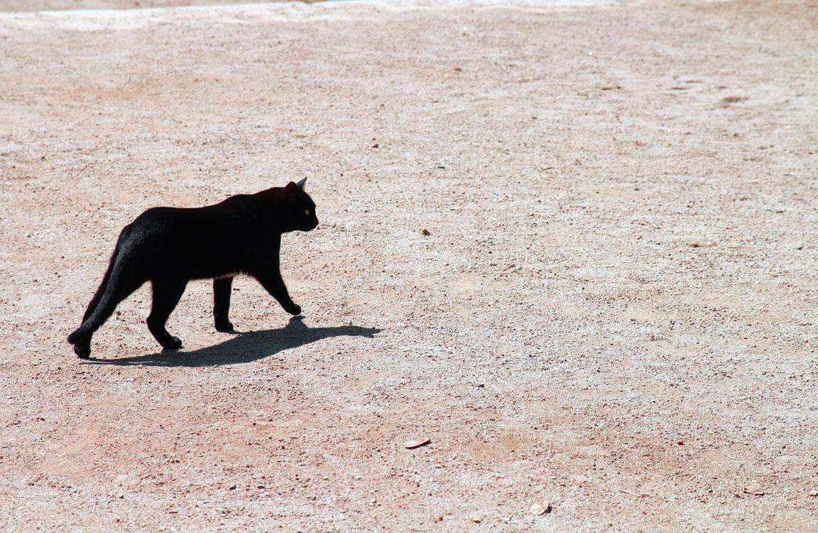 Il gatto nero che attraversa la strada porta sfortuna (?)