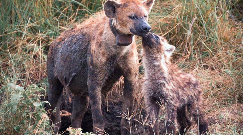 iena con cuccioli