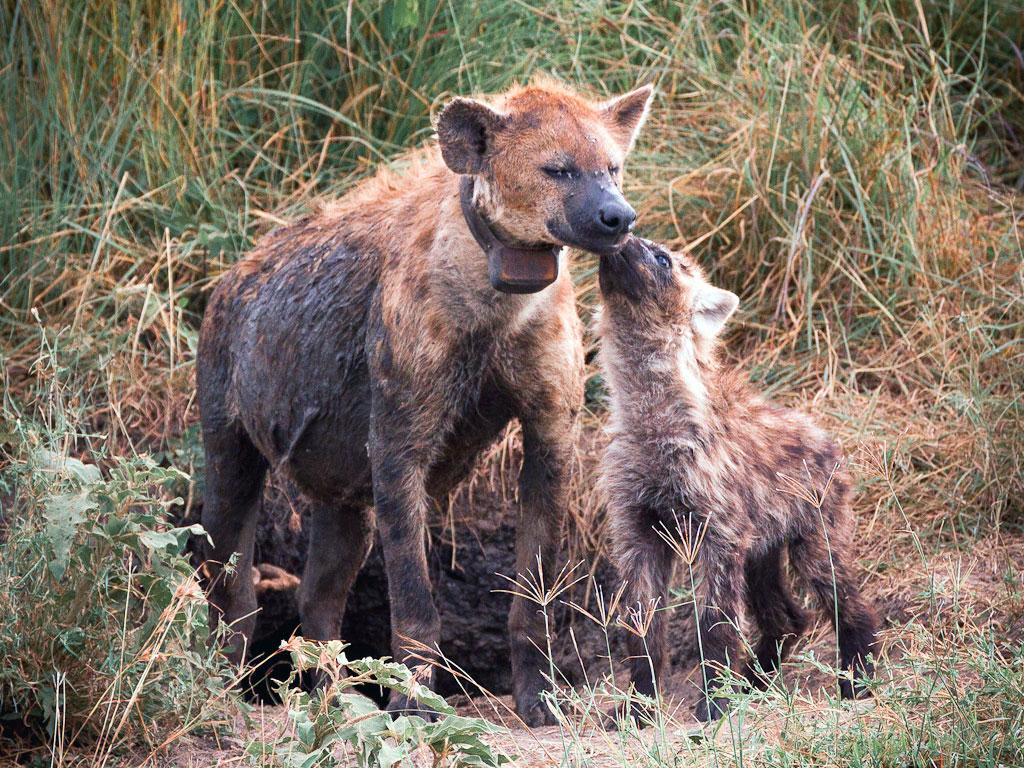 Foto di una mamma iena con il suo piccolo