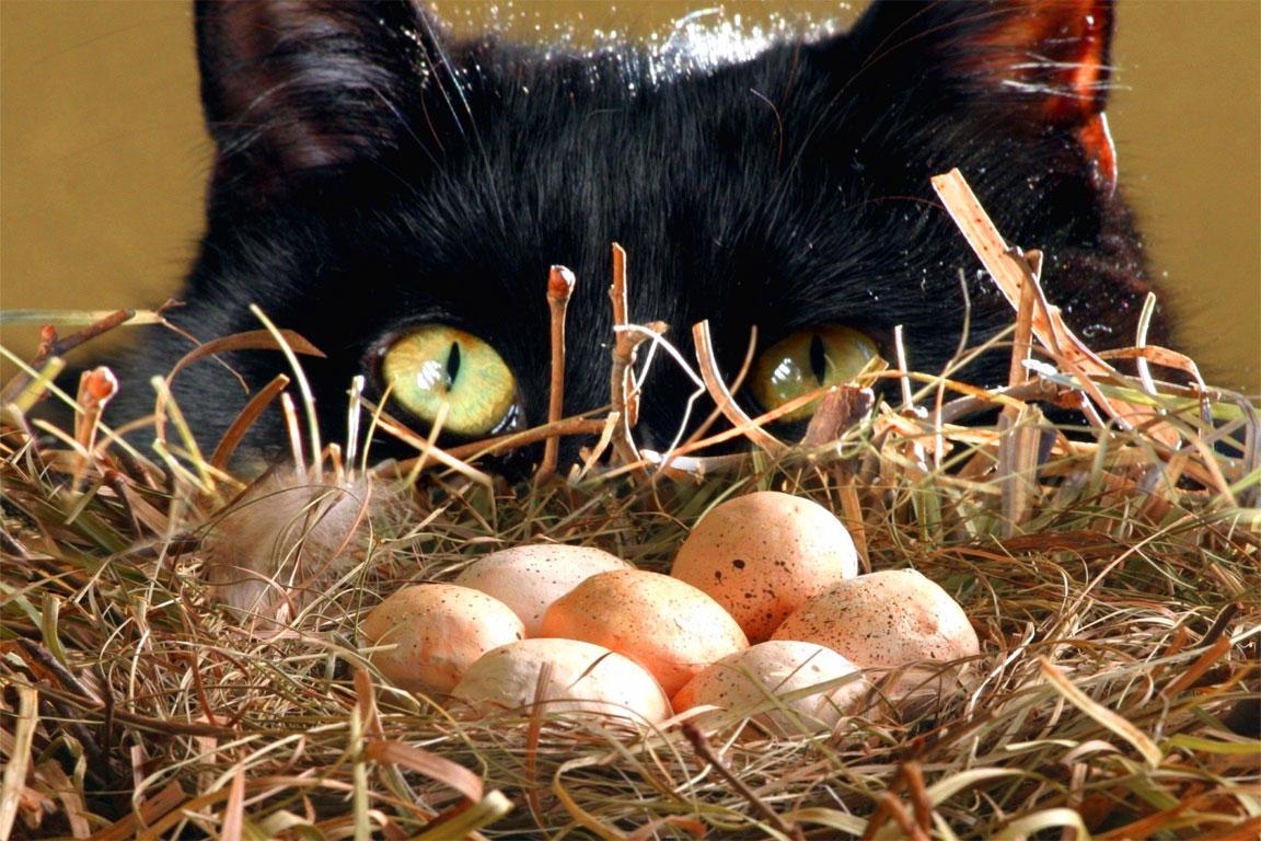 Gatta ci cova - Il gatto non cova le uova