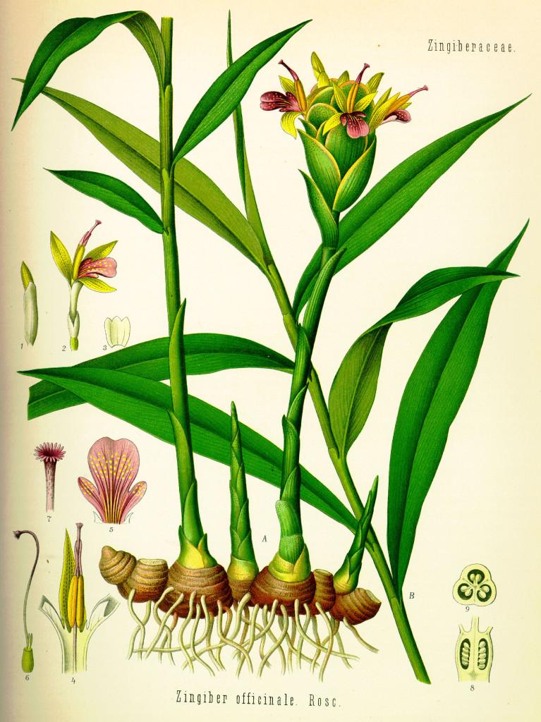 Tavola botanica dello zenzero