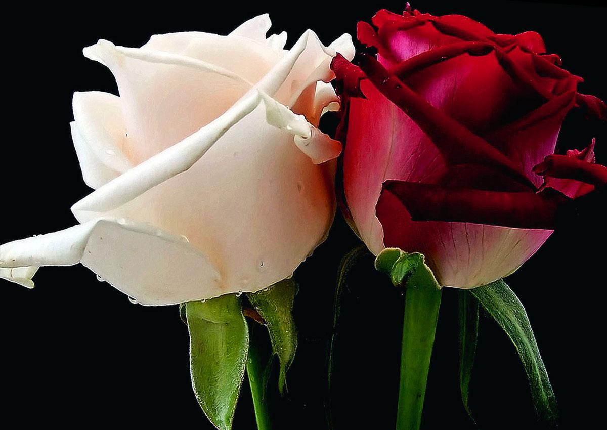La Guerra delle due Rose: i simboli delle case York e Lancaster erano proprio due rose di differenti colori