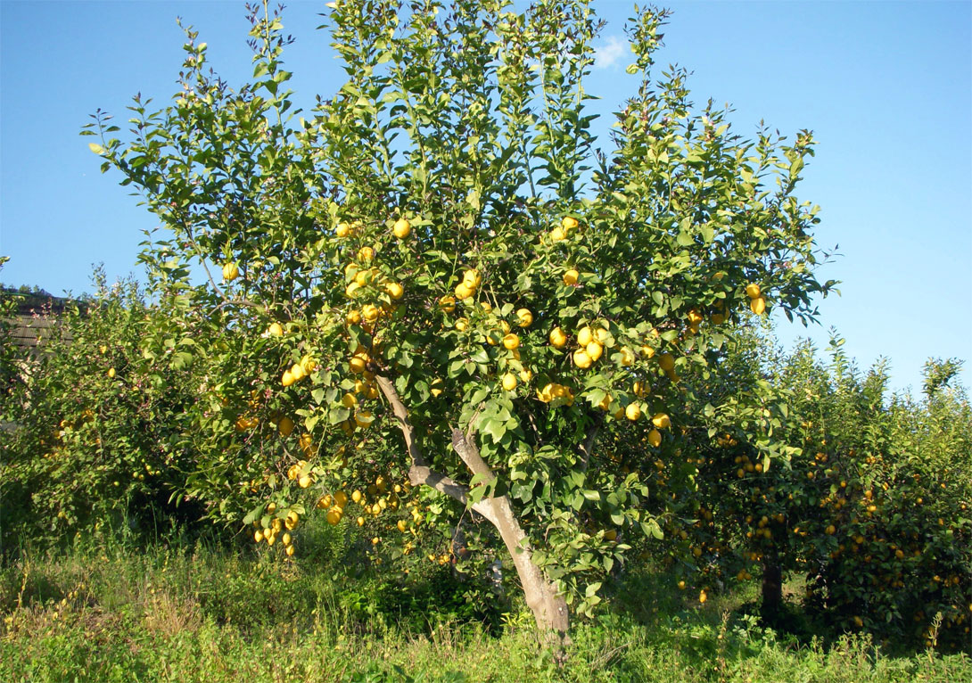 I limoni - piante