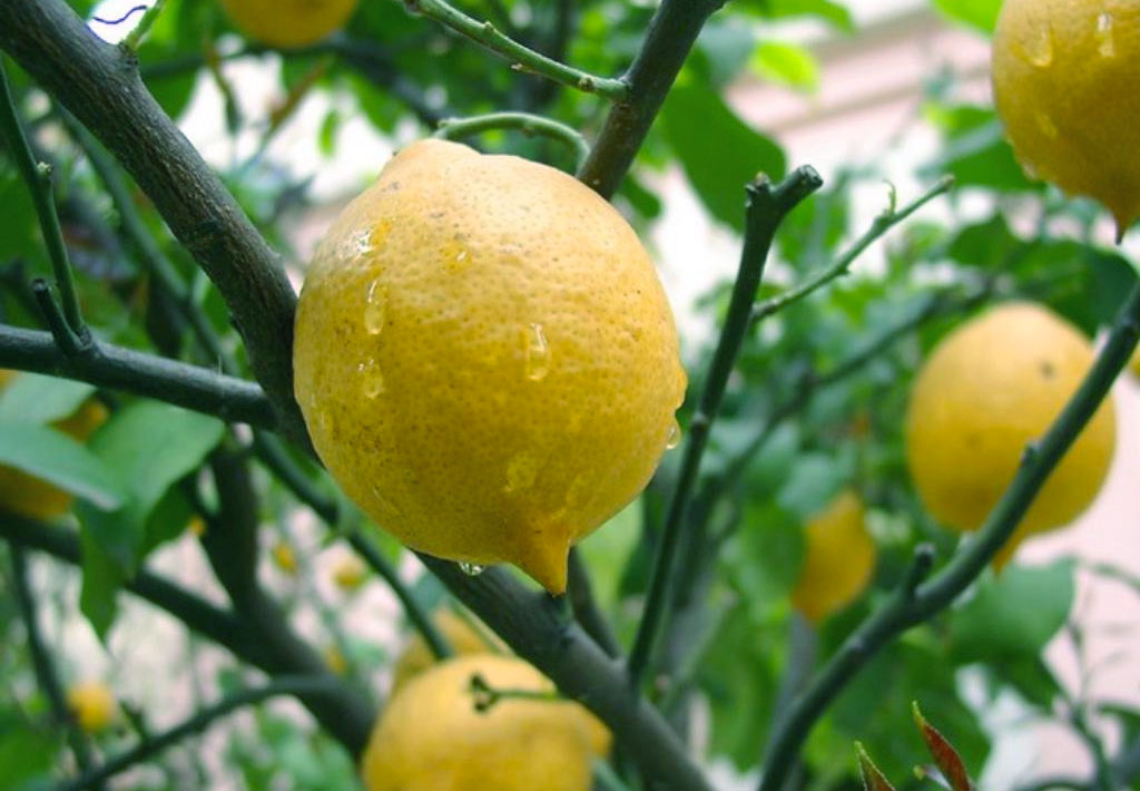 Limoni - poesia