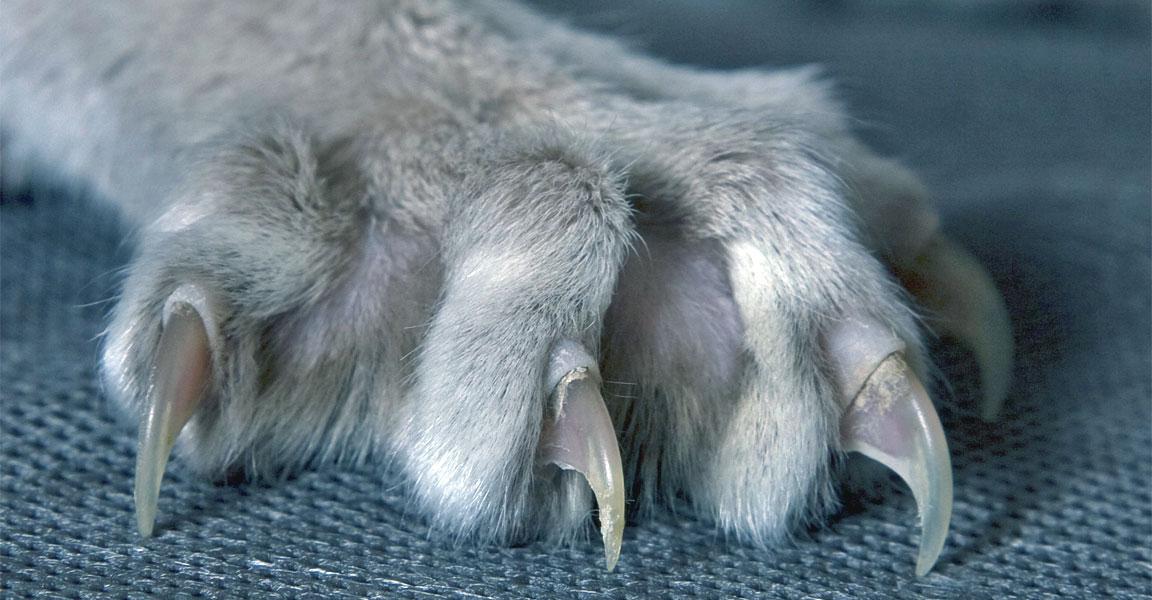 artigli unghie gatto