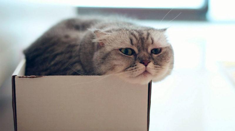 Un gatto che tenta di entrare nella scatola