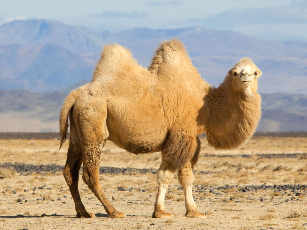 cammello due gobbe - camel two humps