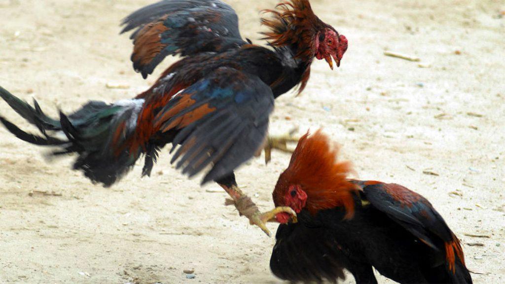 Battibecco: polli che si azzuffano