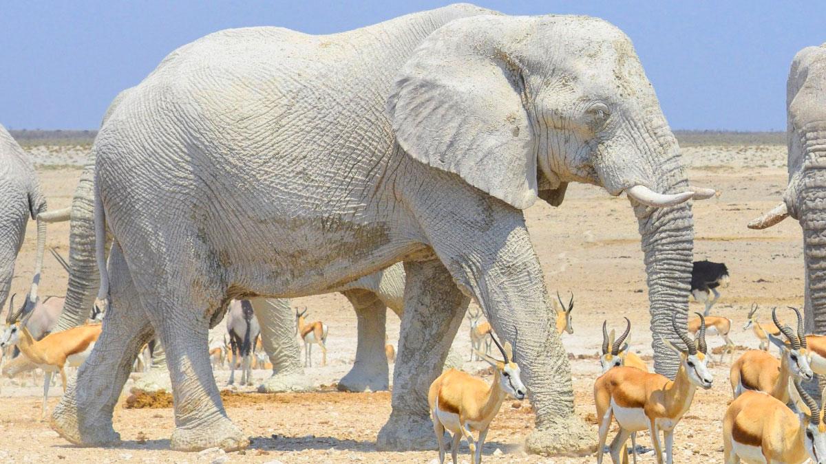 elefante bianco